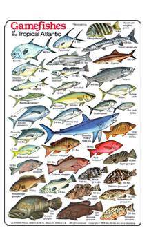 Fish identification guides reef fish identification for Edible hawaiian fish