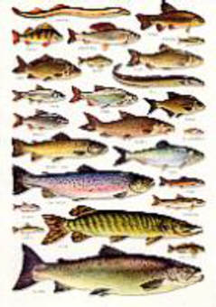 British Freshwater Fishes - An A5 Identification WALL Chart